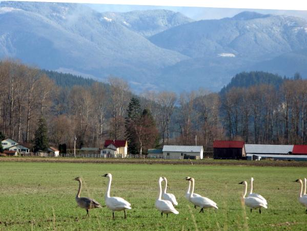 swans in the Skagit Valley